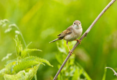 Female of a Whitethroat, Sylvia communis stock photography