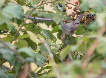 Female Whitethroat Warbler Stock Images