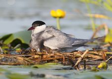The female of the whyskered terns warms the chicks under the wings. Close up photo Stock Images
