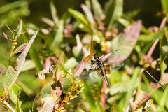 Female Widow Skimmer Dragonfly Royalty Free Stock Photos