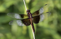 Female Widow Skimmer Royalty Free Stock Photo