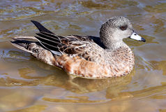 Female Wigeon Duck Hen Royalty Free Stock Photo