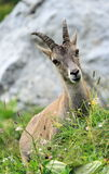 Female wild alpine, capra ibex, or steinbock Stock Image