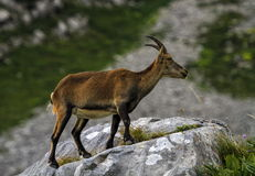 Female wild alpine, capra ibex, or steinbock Stock Images