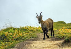 Female wild alpine, capra ibex, or steinbock Stock Photo