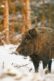 Female wild boar. In snow covered forest Royalty Free Stock Photos