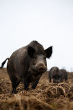 Female wild boar Royalty Free Stock Photography