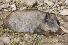 Female wild boar sleeping on the ground. Animal background. Horizontal Royalty Free Stock Photography