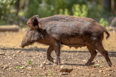Female Wild Boar. (Sus scrofa) walking in a clearing in the forest Royalty Free Stock Images