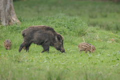 Female wild boar and young Royalty Free Stock Images