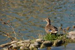Female wild duck stock image