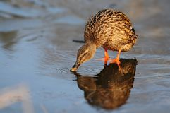 Female wild duck Anas platyrhynchos. Mallard drinking water on the ice.  Royalty Free Stock Photo