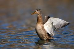 Female wild duck Anas platyrhynchos. Mallard spreads its wings.  Royalty Free Stock Photography