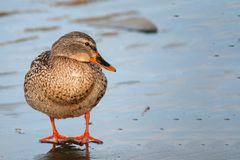 Female wild duck Anas platyrhynchos. Mallard standing on the ice Royalty Free Stock Photos