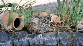 Female wild duck. Brown beautyful female mallard duck Stock Images