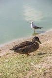Female wild duck Royalty Free Stock Photo