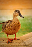 Female wild duck Royalty Free Stock Photos