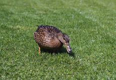 The female of a wild duck on a green  lawn. The female of a wild duck is grazed on a lawn in the park Stock Photo