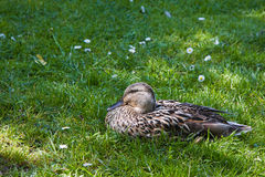 Female wild duck resting in grass. On sunny summerday Stock Photos