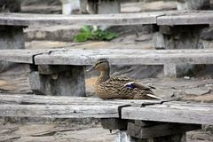 Female wild duck resting on a piece of wood. Beautiful female wild duck resting on a piece of wood Stock Photo