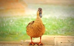 Female wild duck Stock Photography