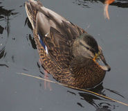 Female wild duck. Wild duck swimming in lake, with shining sunlight on his head Royalty Free Stock Photos
