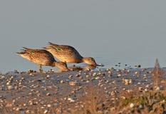 Female wild ducks in marsh Royalty Free Stock Photo