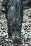 Female wild hog in the mud Stock Photo