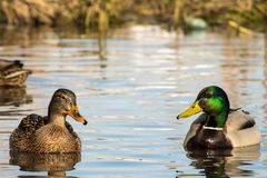 Female wild mallard duck and a drake swim in a pond. Anas platyrhynchos Royalty Free Stock Image