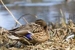 Female wild mallard duck hid her beak between the feathers. Anas platyrhynchos Stock Images
