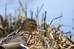 Female wild mallard duck sits in thickets of dry sedge. Anas platyrhynchos Royalty Free Stock Photography