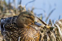 Female wild mallard duck sits in thickets of dry sedge. Anas platyrhynchos Stock Images