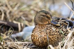 Female wild mallard duck sits in thickets of dry sedge. Anas platyrhynchos Stock Photos