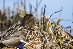 Female wild mallard duck sits in thickets of dry sedge and looks towards the water. Anas platyrhynchos Stock Photography