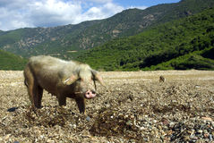 Female wild pig Royalty Free Stock Image