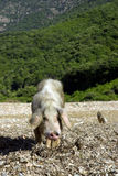 Female wild pig Stock Photography