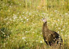 Female Wild Turkey Stock Image