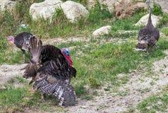Female Wild Turkey American bird landscape with green meadow Stock Image