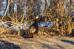 Female Wild Turkey. Stock Image