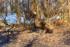 Female Wild Turkey. Stock Images