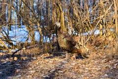 Female Wild Turkey. Royalty Free Stock Photos