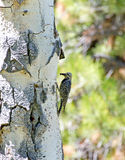 Female Williamson's Sapsucker Woodpecker Royalty Free Stock Photography