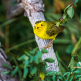 Female Wilson's Warbler Stock Images
