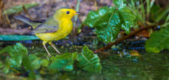 Female Wilson's Warbler Stock Photos