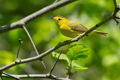 Wilson`s Warbler - Cardellina pusilla. Female Wilson`s Warbler perched on a branch. Ashbridges Bay Park, Toronto, Ontario, Canada Royalty Free Stock Photography