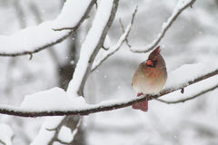 Female Winter Cardinal Royalty Free Stock Image