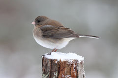 Female Winter Junco Stock Images