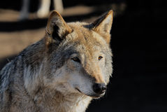 Female wolf. One half of muzzle of the she-wolf is brightly lit by the morning sun, another in a shade Royalty Free Stock Photo