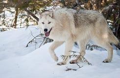 Female Wolf Stock Photos