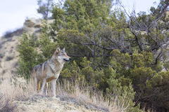 Female wolf looking over landscape Royalty Free Stock Image